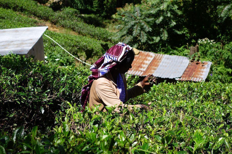 Sri Lanka y el té